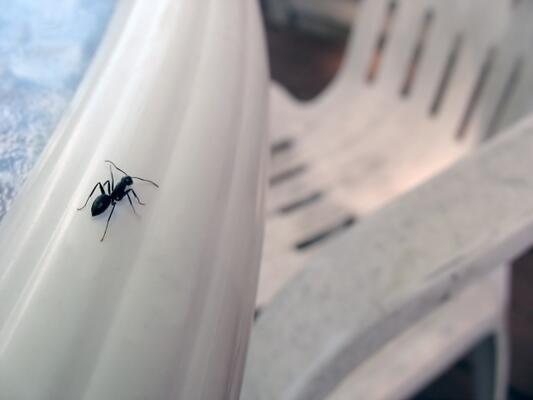 Evde oluşan karıncaları yok etmek için