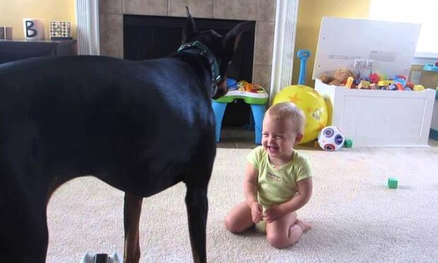 Bebeğin en yakın arkadaşı Doberman