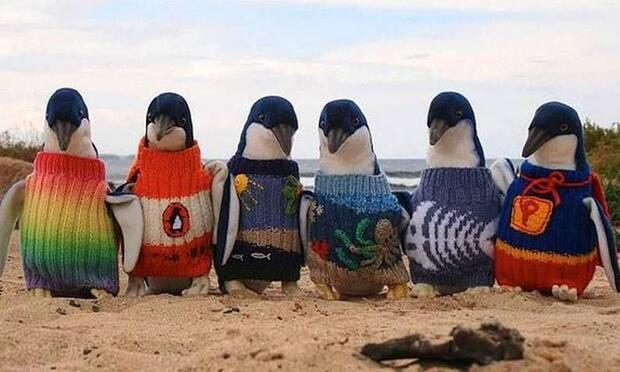 Yaralı penguenler için kazak örüyor