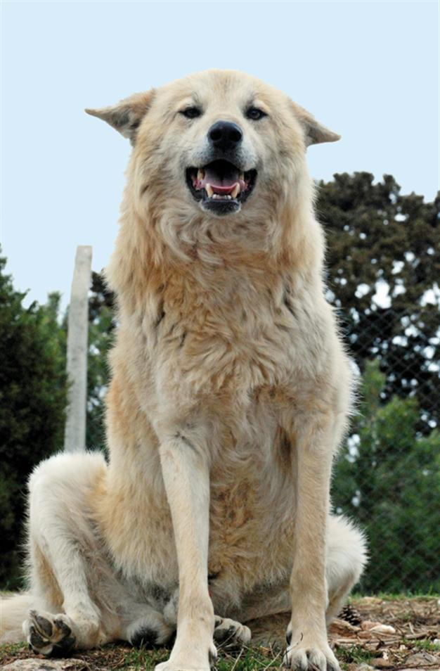 Turkish Wolf Dogs Wait For Mission