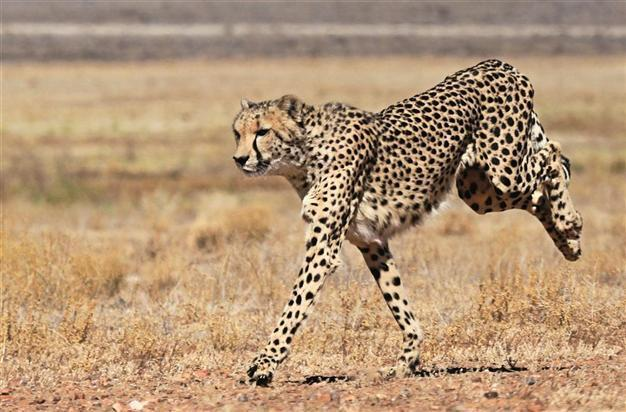 the factors that surround the life and survival of the cheetah Learn about the size, diet, population, range, behavior and other fascinating facts about cheetahs.