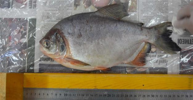 Fish caught in Sivas not piranha
