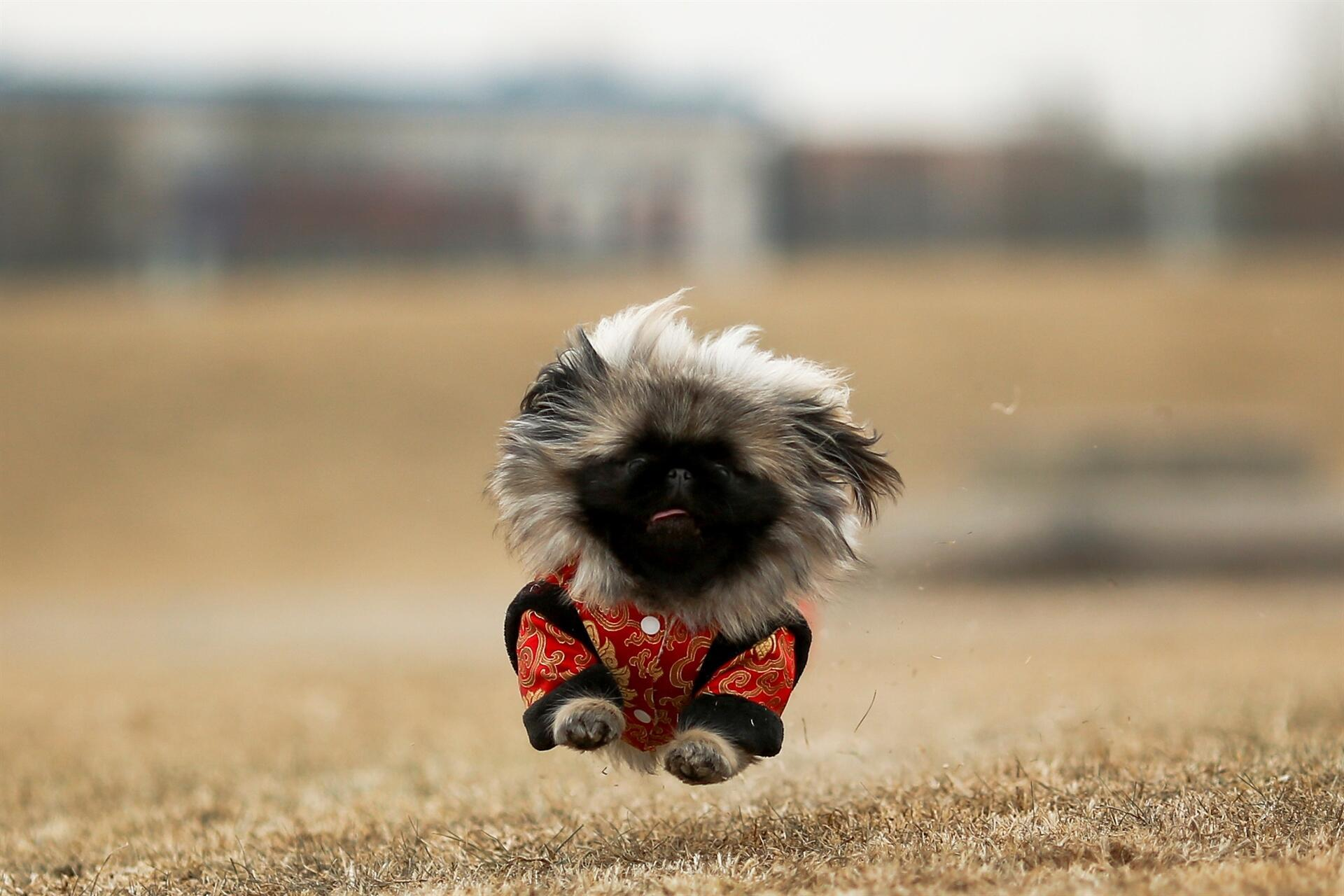 as china s year of the dog begins pekingese breed is scarce