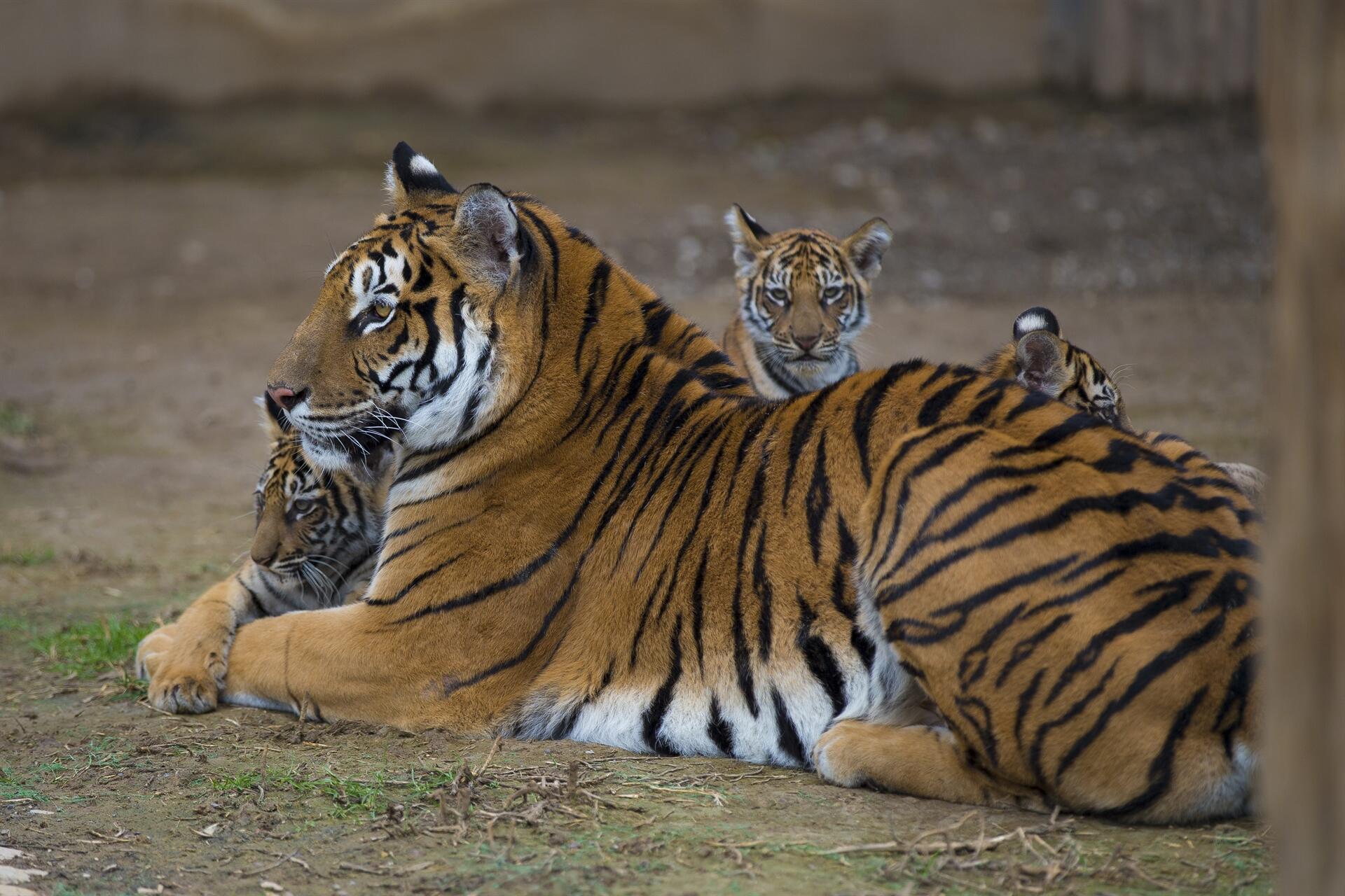 Lion Tiger Cubs Meet Visitors At Kayseri Zoo