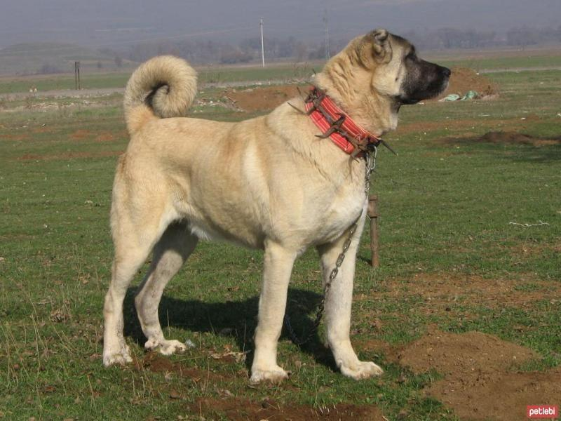 Turkish Kangal dogs protect American cattle across the