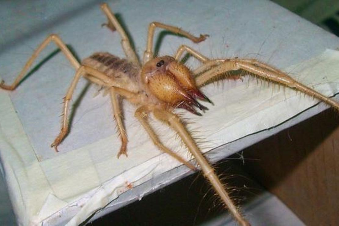 Spiders Seem To Be Getting More >> Flesh Eating Camel Spider Seen In Western Turkey Expert Turkey News
