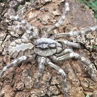 Tarantula in size of human face discovered in Sri Lanka