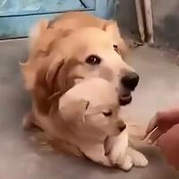 Cute dog refuses to let owner shake hands with newborn puppy