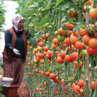 $346 mln loans given to greenhouse farmers - Latest News