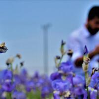 Locals cherish endangered sea daffodil - Turkey News