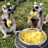 Baby lemurs await being named in Central Anatolian zoo