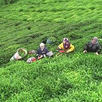 Tea harvest continues during holiday