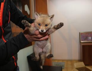 03565d8f87 Fox cub found roadside