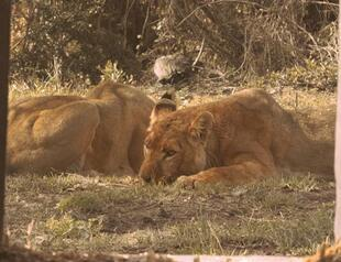 1b335238b8 Turkish Airlines returns 4 former circus lions to nature
