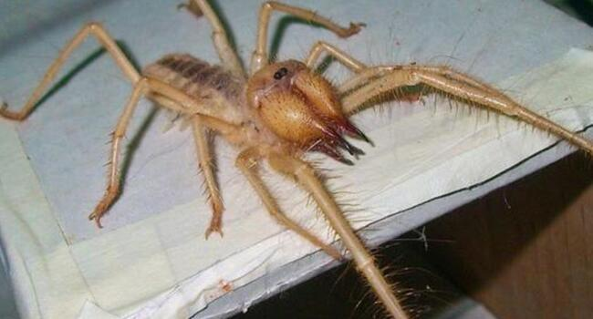 Flesh eating camel spider seen in western Turkey: Expert