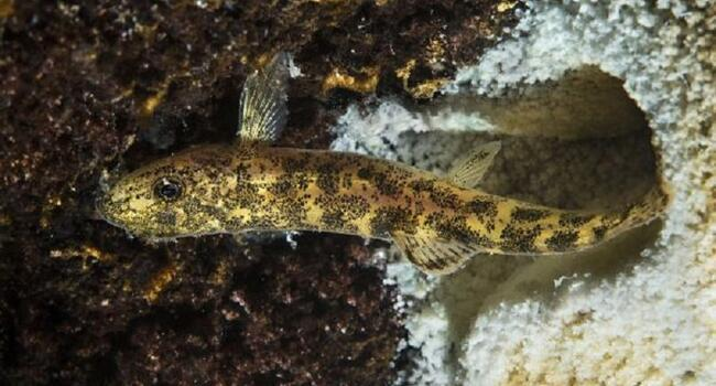 New fish species found in Turkeys Lake Van