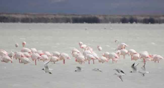 Flamingos flock to Turkeys Seyfe Lake