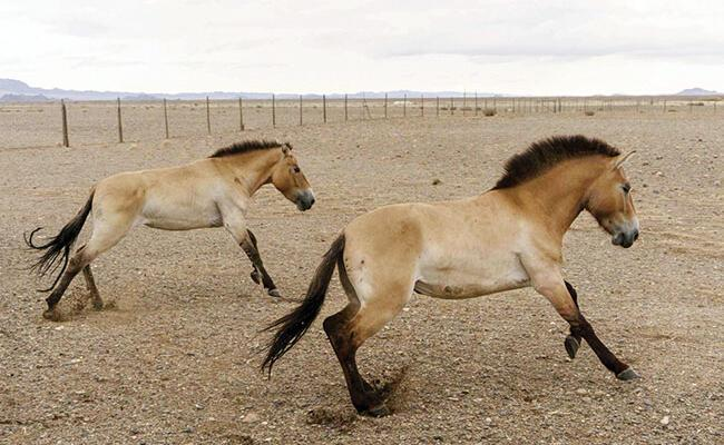Long way home as Przewalski's horses fly to Mongolia