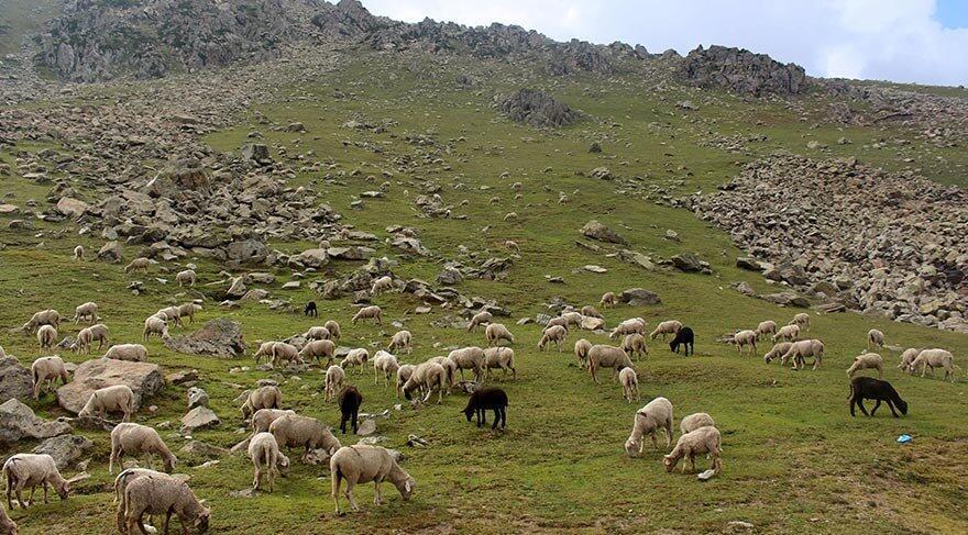 Her yıl binlerce koyunla bölge akın ediyorlar Marwah Vadisi