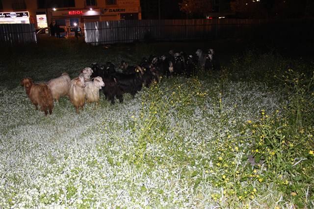 Merkez Çukurova ilçesi Huzurevleri Mahallesi`nde çok sayıda küçükbaş hayvanın başıboş
