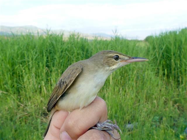 En önemli kuş gözlem istasyonlarından Tuzluca ilçesindeki Aras Kuş Cenneti`nde,