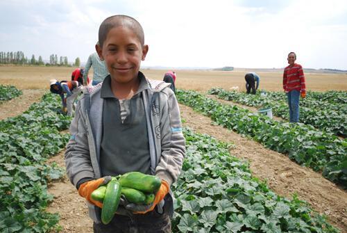 Yağışlar nedeniyle bu yıl geç başlayan salatalık hasadı, maliyetlerdeki artış