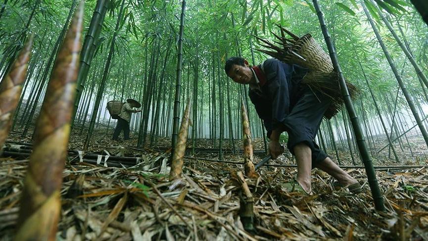 Dünyanın en hızlı büyüyen ağacı: Bambu
