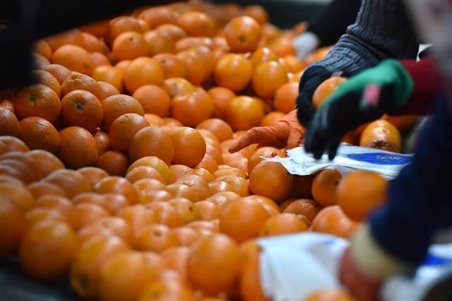 Antalya'da erken portakal hasadı
