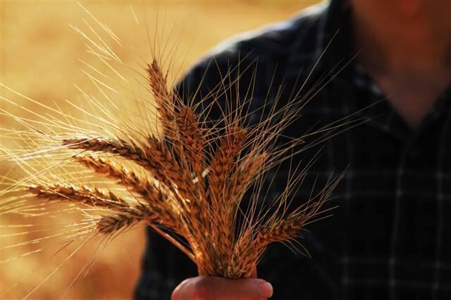 TMO 240 bin ton buğday, 75 bin ton arpa alacak