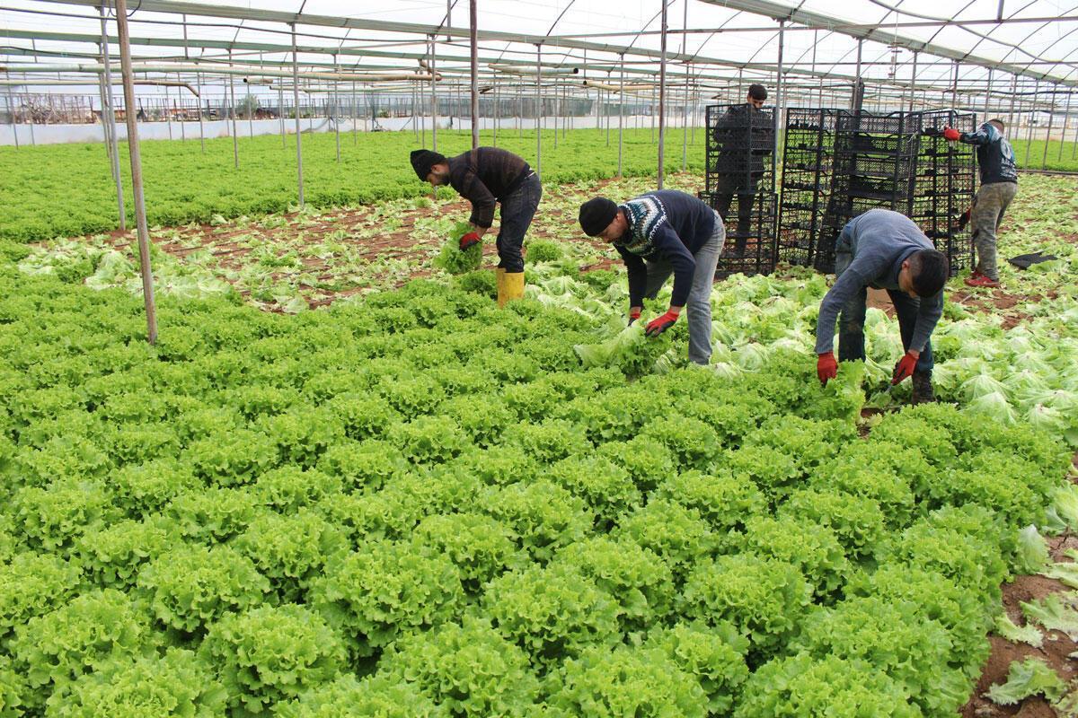 Halden çıkışı 15 liraya kadar alıcı bulan yeşil soğan yok