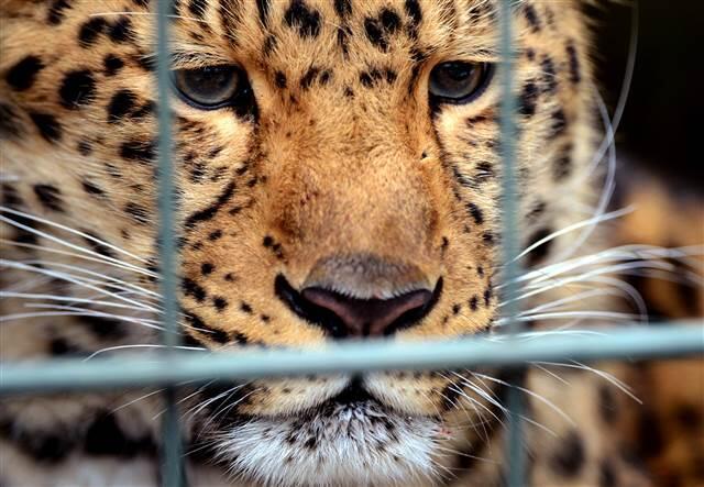 Ulusal parkta leopar saldırısı: 1 ölü