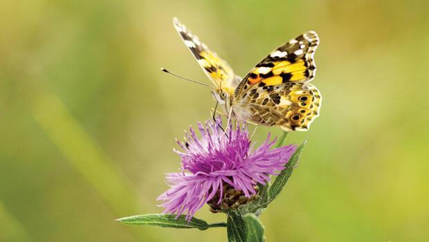 Kelebeğin ömrü ne kadar?