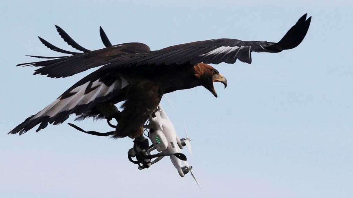 Kartallar bir bir drone'ları avlayacak!
