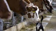 Toplanan inek sütü miktarı şubatta azaldı