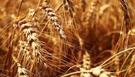 Buğday ve mısırda stoklar artıyor