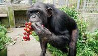 En yaşlı Down Sendromlu maymun