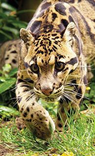 Efsane leoparın peşinde