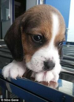 Bilim dünyasında devrim... Laboratuvarda süper köpek üretildi