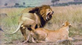 vahşi hayvanların cinsel ilişkileri