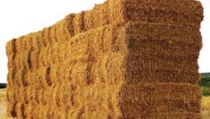 Saman fiyatı uçtu buğday yem oldu
