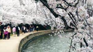 Tokyo'dan Washington'a dünya baharı sakurayla karşılıyor