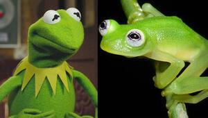 Kurbağa Kermit meğer gerçekmiş