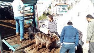 Karaman'da madencilere 3 bin 21 küçükbaş hayvan dağıtıldı