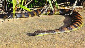 Avustralya'da yılan paniği