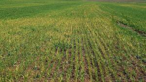 Buğday arazilerini don vurdu