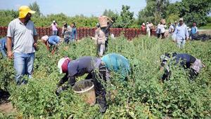 Mevsimlik tarım işçileri fındıktan umduğunu bulamadı