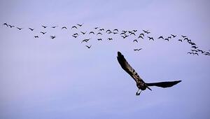 Kuş göçünün 'en'leri