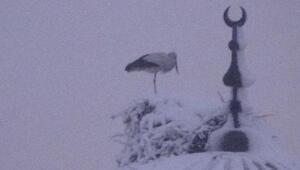Iğdırda leylek kar altında kaldı