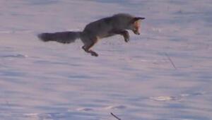Tilki 1 metre zıplayarak avını yakaladı