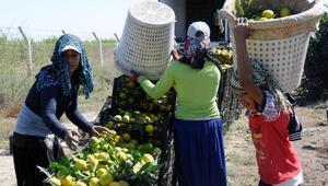 Tarım işçisi çocuklar okula gitmiyor, günde 9 saat çalışıyor